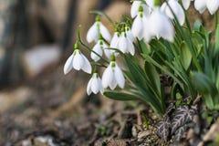 Όμορφα snowdrops στον πρόωρο κήπο άνοιξη στοκ φωτογραφίες