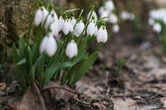 Όμορφα snowdrops στον πρόωρο κήπο άνοιξη στοκ εικόνα με δικαίωμα ελεύθερης χρήσης