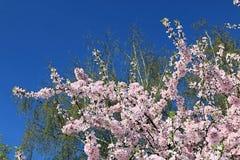 Όμορφη εικόνα άνοιξη του sakura άνθησης, του πράσινων δέντρου και του μπλε ουρανού στοκ φωτογραφία με δικαίωμα ελεύθερης χρήσης