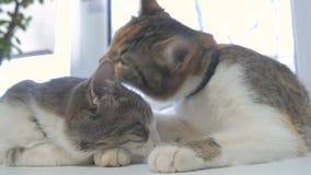 Όμορφη χαριτωμένη γάτα που γλείφει το πόδι του στη στρωματοειδή φλέβα παραθύρων με τις αστείες συγκινήσεις τρόπου ζωής στο υπόβαθ φιλμ μικρού μήκους