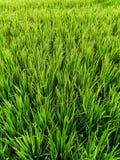 Όμορφοι πράσινοι τομείς ρυζιού στο Μπαλί στοκ εικόνες