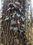 Όμορφος, άγριος κισσός στο φλοιό δέντρων στο δάσος στοκ εικόνα