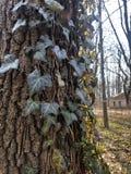 Όμορφος, άγριος κισσός στο φλοιό δέντρων στο δάσος στοκ εικόνα με δικαίωμα ελεύθερης χρήσης