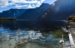 Όμορφος κύκνος που κολυμπά στο κρύσταλλο - καθαρίστε το νερό στοκ εικόνες με δικαίωμα ελεύθερης χρήσης
