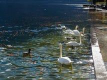 Όμορφος κύκνος που κολυμπά στο κρύσταλλο - καθαρίστε το νερό στοκ φωτογραφίες