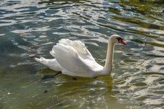 Όμορφος κύκνος που κολυμπά στο κρύσταλλο - καθαρίστε το νερό στοκ εικόνες