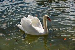 Όμορφος κύκνος που κολυμπά στο κρύσταλλο - καθαρίστε το νερό στοκ εικόνα