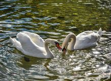 Όμορφος κύκνος που κολυμπά στο κρύσταλλο - καθαρίστε το νερό στοκ φωτογραφία με δικαίωμα ελεύθερης χρήσης