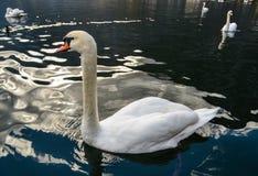 Όμορφος κύκνος που κολυμπά στο κρύσταλλο - καθαρίστε το νερό στοκ φωτογραφία