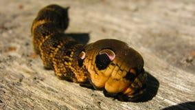 Όμορφος στενός επάνω του Caterpillar σκώρων γερακιών ελεφάντων στοκ φωτογραφία με δικαίωμα ελεύθερης χρήσης