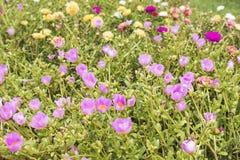 Όμορφος τομέας λουλουδιών, γλυκό χρώμα λουλουδιών, όμορφο υπόβαθρο στις ηλιόλουστες ημέρες Κοινό Purslane, Verdolaga, Pigweed, λί στοκ εικόνα με δικαίωμα ελεύθερης χρήσης