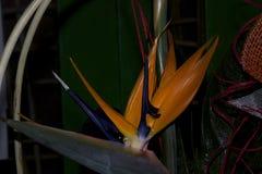 Όμορφος πορτοκαλής εξωτικός στενός επάνω λουλουδιών στην ηλιοφάνεια στοκ εικόνα με δικαίωμα ελεύθερης χρήσης