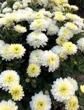 όμορφο λευκό με τα κίτρινα λουλούδια των χρυσάνθεμων στοκ φωτογραφίες με δικαίωμα ελεύθερης χρήσης