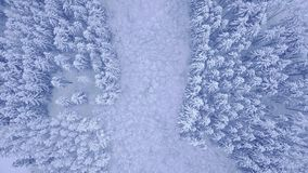 Όμορφο μπλε δάσος χειμερινών νέο πεύκων που καλύπτεται με το χιόνι με το ξέφωτο των αποβαλλόμενων δέντρων κατά την κεντρική εναέρ φιλμ μικρού μήκους