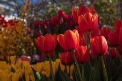 Όμορφο σκηνικό υποβάθρου με την ομάδα φωτεινών ζωηρόχρωμων τουλιπών στον κήπο Φυσική ελαφριά εκλεκτική εστίαση στοκ εικόνα με δικαίωμα ελεύθερης χρήσης