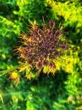 Όμορφο πορφυρό λουλούδι στο χωριό στοκ εικόνα με δικαίωμα ελεύθερης χρήσης