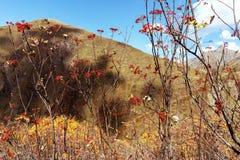 Ώριμα μούρα του viburnum στους κλάδους σε ένα τοπίο βουνών στοκ εικόνες