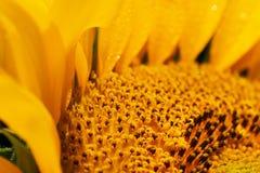 Ώριμο λουλούδι ηλίανθων με τα όμορφα κίτρινα πέταλα στοκ εικόνα