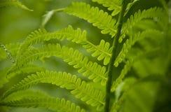 Σγουρά πράσινα φύλλα με το μουτζουρωμένο υπόβαθρο στοκ εικόνες