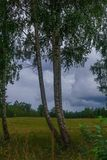 Σημύδες στην άκρη του τομέα στο χωριό Η φωτογραφία λήφθηκε στη Λετονία στοκ εικόνα