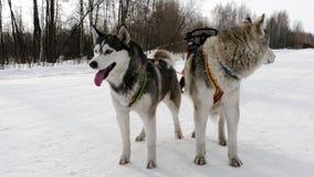 Σιβηρικά γεροδεμένα σκυλιά στο λουρί