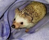 Σκαντζόχοιρος της Pet σε μια πορφυρή σακούλα στοκ φωτογραφία με δικαίωμα ελεύθερης χρήσης