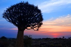 Σκιαγραφία δέντρων ρίγου στο φωτεινό υπόβαθρο ουρανού ηλιοβασιλέματος, θαυμάσιο αφρικανικό τοπίο σε Keetmanshoop, Ναμίμπια στοκ εικόνα