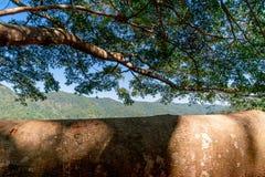 Σκιερό μεγάλο παλαιό δέντρο με το γιγαντιαίο κλάδο του στο δάσος στοκ φωτογραφίες