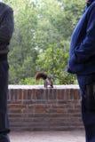Σκοτεινός καφετής χνουδωτός σκίουρος σε ένα πάρκο κοντά σε δύο άτομα στοκ φωτογραφία με δικαίωμα ελεύθερης χρήσης