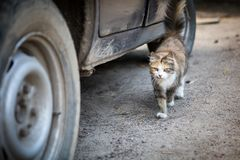 Σκύψιμο της γούνινης γάτας tricolor κοντά σε ένα αυτοκίνητο στην επαρχία στοκ φωτογραφία με δικαίωμα ελεύθερης χρήσης