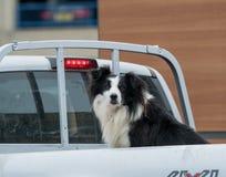 Σκυλί κόλλεϊ συνόρων στο ανοιχτό φορτηγό στοκ εικόνες