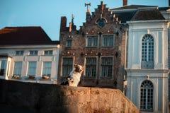 Σκυλί στην πόλη Pet για έναν περίπατο υπάκουος αυστραλιανός ποιμένας στοκ εικόνες με δικαίωμα ελεύθερης χρήσης