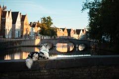 Σκυλί στην πόλη Pet για έναν περίπατο υπάκουος αυστραλιανός ποιμένας στοκ εικόνα με δικαίωμα ελεύθερης χρήσης