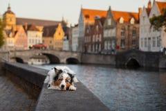 Σκυλί στην πόλη Pet για έναν περίπατο υπάκουος αυστραλιανός ποιμένας στοκ εικόνες