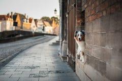 Σκυλί στην πόλη Pet για έναν περίπατο υπάκουος αυστραλιανός ποιμένας στοκ φωτογραφία με δικαίωμα ελεύθερης χρήσης