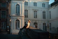 Σκυλί στην πόλη Pet για έναν περίπατο υπάκουος αυστραλιανός ποιμένας στοκ φωτογραφία