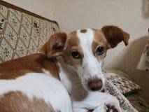 Σκυλί της Maya στοκ φωτογραφία με δικαίωμα ελεύθερης χρήσης