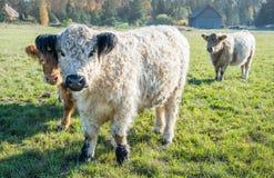Σκωτσέζικες αγελάδες ορεινών περιοχών στο λιβάδι στοκ εικόνα με δικαίωμα ελεύθερης χρήσης