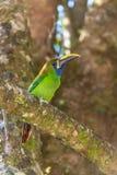 Σμάραγδος toucanet, πουλί στοκ φωτογραφία με δικαίωμα ελεύθερης χρήσης