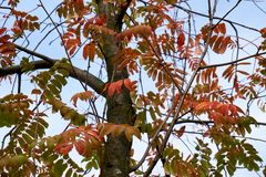 σορβιά Διαφανή ζωηρόχρωμα φύλλα φθινοπώρου στοκ εικόνες με δικαίωμα ελεύθερης χρήσης