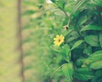 Σρι Λάνκα Νίκαια και λουλούδι ομορφιάς στοκ φωτογραφία με δικαίωμα ελεύθερης χρήσης