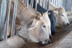 Σύγχρονος αγροτικός σταύλος Αρμέγοντας αγελάδες Οι αγελάδες σπιτιών χρησιμοποιούνται στις θέσεις, συνήθως αγροτικές, χωρίς κατάλλ στοκ φωτογραφία με δικαίωμα ελεύθερης χρήσης