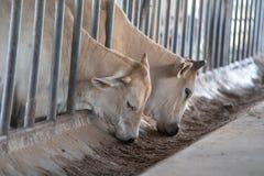 Σύγχρονος αγροτικός σταύλος Αρμέγοντας αγελάδες Οι αγελάδες σπιτιών χρησιμοποιούνται στις θέσεις, συνήθως αγροτικές, χωρίς κατάλλ στοκ φωτογραφία