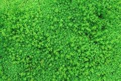 Σύσταση από τα πράσινα φυτά με τα μικρά φύλλα για το υπόβαθρο στοκ εικόνες με δικαίωμα ελεύθερης χρήσης