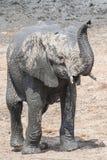 Στάση του νέου μόσχου ελεφάντων με τον αυξημένο κορμό στοκ εικόνες με δικαίωμα ελεύθερης χρήσης