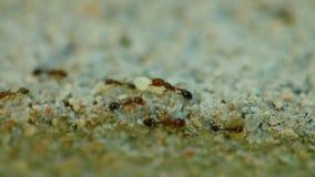 Στενή επάνω μακροεντολή μετανάστευσης αποικιών μυρμηγκιών απόθεμα βίντεο