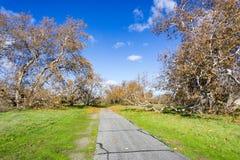 Στρωμένο ίχνος μέσω ενός δυτικού sycamore (Platanus Racemosa) άλσους δέντρων, Sycamore πάρκο αλσών, Livermore, περιοχή κόλπων του στοκ φωτογραφίες με δικαίωμα ελεύθερης χρήσης