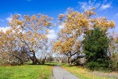 Στρωμένο ίχνος μέσω ενός δυτικού sycamore (Platanus Racemosa) άλσους δέντρων, Sycamore πάρκο αλσών, Livermore, περιοχή κόλπων του στοκ φωτογραφίες