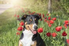 Συνεδρίαση Sennenhund Appenzeller στους τομείς λουλουδιών τουλιπών στοκ φωτογραφία με δικαίωμα ελεύθερης χρήσης