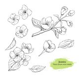 Συρμένο χέρι καθορισμένο λουλούδι της Jasmine με τα φύλλα Μαύρο βοτανικό σχέδιο γραμμών διανυσματική απεικόνιση